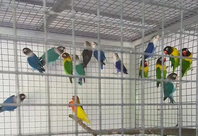 volieregaas met vogels