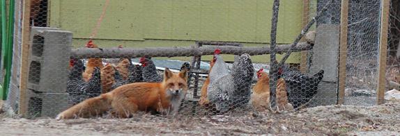 vos bij kippen