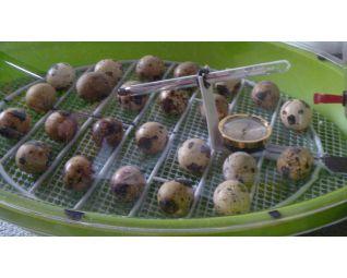 fazanten eieren in een fiem smart broedmachine