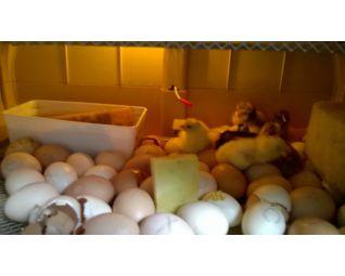 Eieren in de Cosmo op basisschool Cosmo broedmachine KTA GITBO te Keerbergen België1