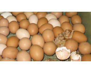 Kuiken komt uit het ei in een Fiem Cosmo broedmachine