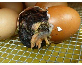 6 Kuiken komt uit het ei in een Fiem Cosmo broedmachine