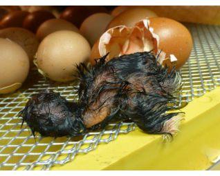 8 Kuiken komt uit het ei in een Fiem Cosmo broedmachine