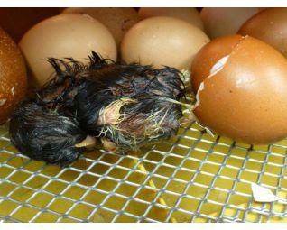 9 Kuiken komt uit het ei in een Fiem Cosmo broedmachine