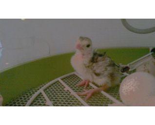 broedmachine fiem smart met fazanten eieren