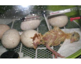 fiem smart fazanten kuiken